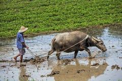 Framer för traditionell kines som använder en oxe för att ploga ett fält för växt royaltyfri bild