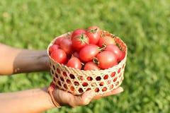 Framer holding fresh organic tomatoes in handcraft basket. Stock Photos