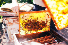 Frames of a bee hive. Beekeeper harvesting honey. The bee smoker Stock Photography