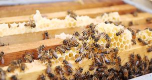 Frames of a bee hive. Beekeeper harvesting honey. Beekeeper Inspecting Bee Hive. Beekeeping stock video footage