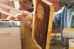 Frames of a bee hive. Beekeeper harvesting honey. The bee smoker is used to calm bees before frame removal royalty free stock photo