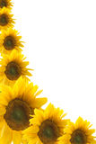 Framework from colours of a sunflower Royalty Free Stock Photo