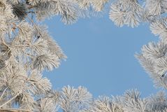 Framework from pine branches covered with hoarfros Royalty Free Stock Image