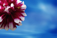 Framing dahlia flower. Framing dahlias flower in blue sky with bee Royalty Free Stock Image