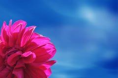 Framing dahlia flower red. Framing dahlias flower in blue sky Stock Images