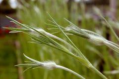Framkallande knoppar av corncockleblommor Fotografering för Bildbyråer