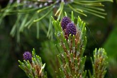 Framkallande purpurfärgade kulöra kvinnliga kottar av det dvärg- berget för Pinusmugomughusen sörjer under vår royaltyfria bilder