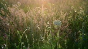 Frammenti del prato selvaggio nei raggi del tramonto Natura della Russia archivi video