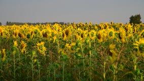 Frammento dei girasoli di fioritura al tramonto nel campo archivi video
