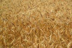 Frammento del primo piano del giacimento di grano Fotografia Stock