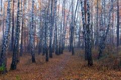 Frammento della foresta della betulla di autunno nella mattina fotografie stock