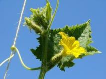 Frammento della pianta del cetriolo Fotografie Stock Libere da Diritti