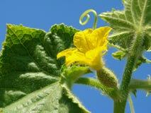 Frammento della pianta del cetriolo Fotografie Stock