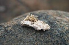 Frammento di corallo bianco che si trova su una pietra Fotografie Stock