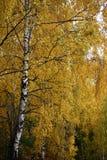 Frammento di una betulla di autunno Fotografia Stock Libera da Diritti