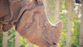 Framsida av att gå noshörningen för stock video
