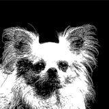 Framsida av chihuahuahunden Arkivfoton