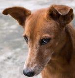 Framsida av den bruna hunden som ser allvarligt Royaltyfri Fotografi