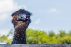 Framsida av den frontal sikten för emu Royaltyfri Bild