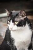 framsida av den hållande ögonen på kameran för svartvit tillfällig katt Royaltyfri Fotografi