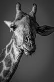 Framsida av den manliga giraffet, Kruger nationalpark, Sydafrika Royaltyfri Bild