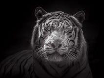 Framsida av den Siberian vita tigern Fotografering för Bildbyråer