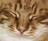 Framsida av den vita röda avrivna katten med halva-stängda ögon Royaltyfri Foto