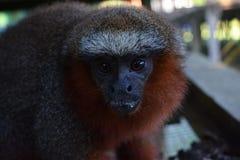 Framsida av en apa på amasondjungeln, Peru royaltyfri fotografi