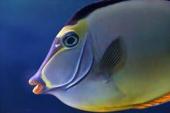 Framsida av en elegant unicornfish Royaltyfri Fotografi