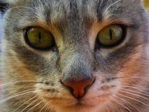 framsida av en grå kattnärbild royaltyfri fotografi