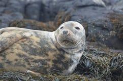 Framsida av en Gray Seal Royaltyfria Bilder