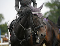 Framsida av en härlig fullblods- kapplöpningshäst på banhoppningcompetitioen Fotografering för Bildbyråer