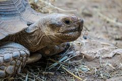 Framsida av en jätte- sköldpadda Royaltyfri Fotografi