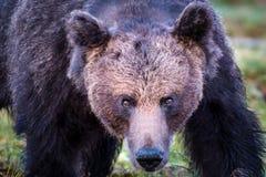 Framsida av en lös manlig brunbjörn Arkivfoto
