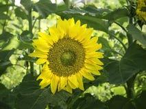 Framsida av en stor gul solros i en höstträdgård royaltyfria bilder