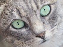 Framsida av en Tabby Cat Royaltyfri Foto