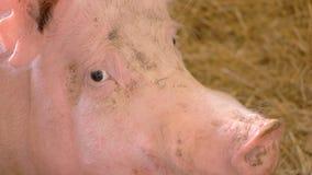 Framsida av ett svin fotografering för bildbyråer