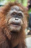 Framsida av orangutanget Arkivbilder