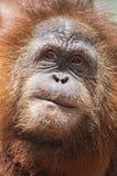 Framsida av orangutanget Fotografering för Bildbyråer