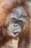 Framsida av orangutanget Arkivfoton