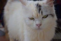 Framsida av roligt gulligt för litet hår för kattskönhetkropp royaltyfri foto