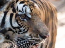 Framsida av tigern Fotografering för Bildbyråer