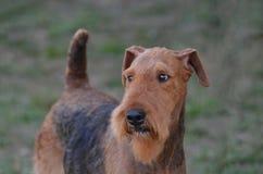 Framsida för airedaleterrierTerrier hund royaltyfri foto