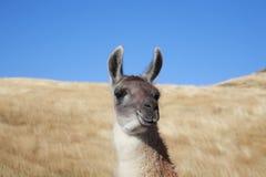 Framsida för Alpaca` s Royaltyfria Bilder