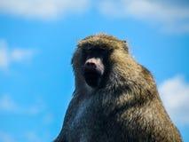 Framsida för babian` s Arkivfoto
