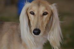 Framsida för blondinSaluki hund Royaltyfri Fotografi