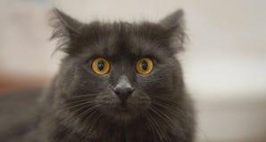 Framsida för Nebelung kattcloseup royaltyfria foton