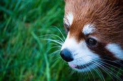 Framsida för slut för röd panda övre Arkivbild