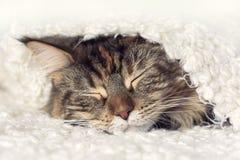 Framsida som sover katten royaltyfria bilder