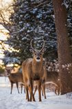 Framsida - till - framsida med en flock av hjortar arkivbilder